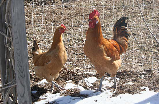 catalana_rooster_and_hen