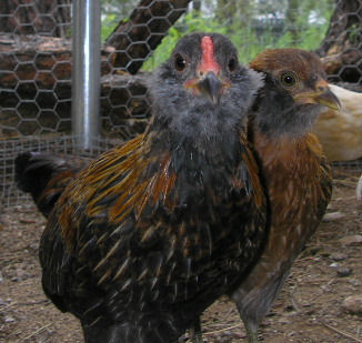 araucana_rooster_and_hen